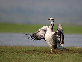 L(10_2015_A-Bird-Guide-at-Bhigwan)1